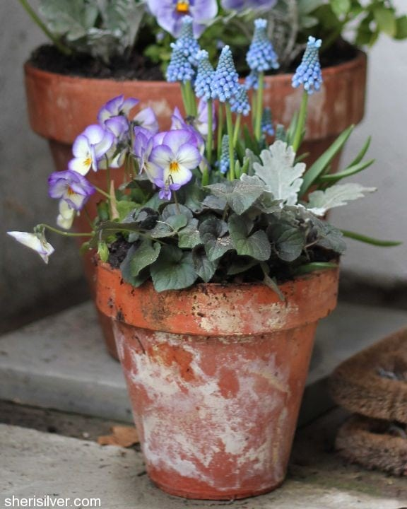 spring planter with pansies, grape muscari, viola, dusty miller