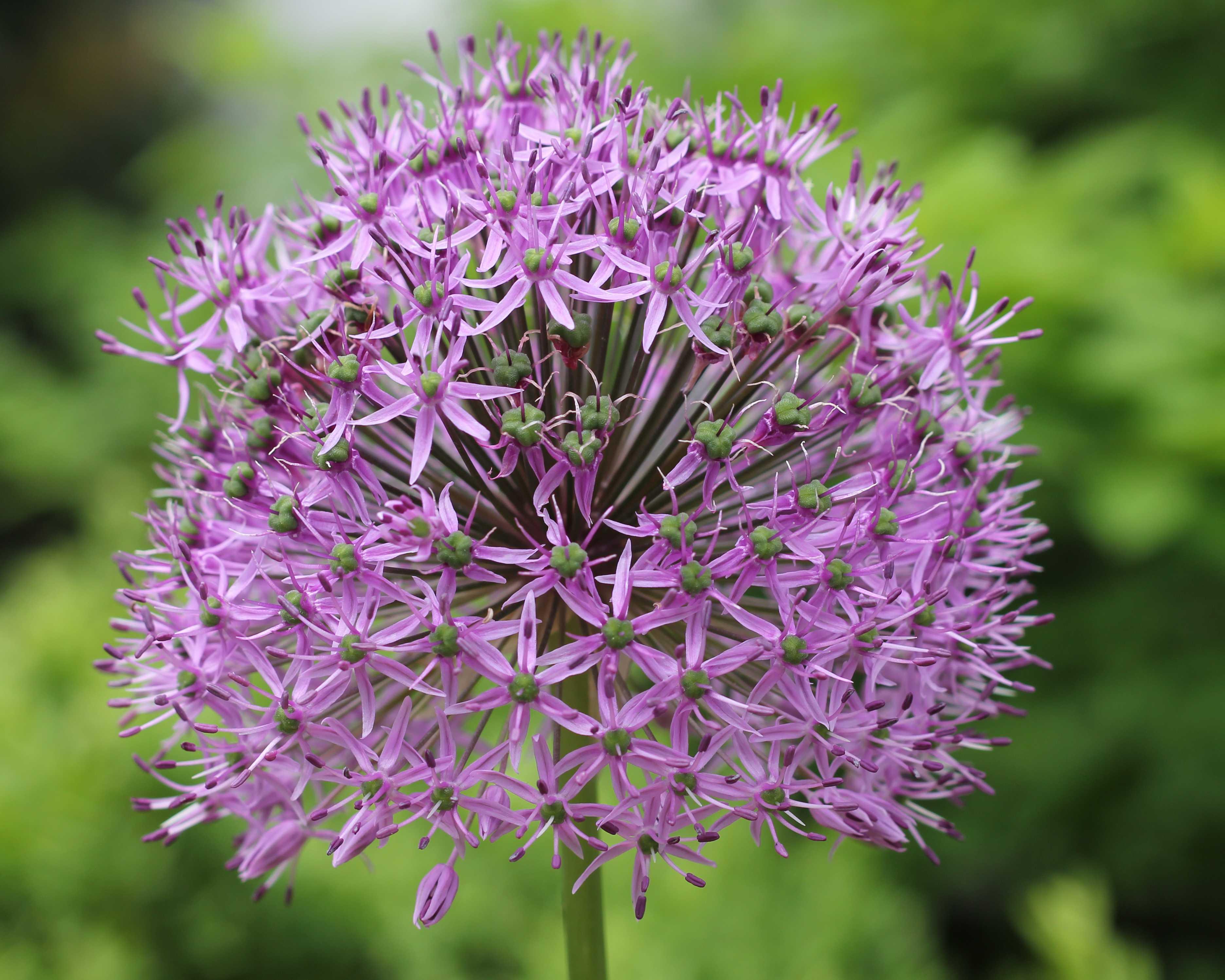 Цветок аллиум посадка и уход в открытом грунте Как сажать фото