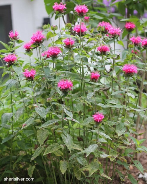 bee balm, cut back