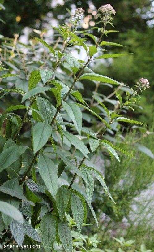 joe pye weed, unpruned