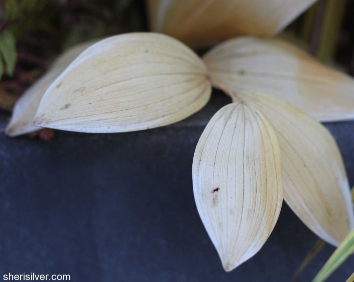 solomon's seal  Fall Garden Transition Tips