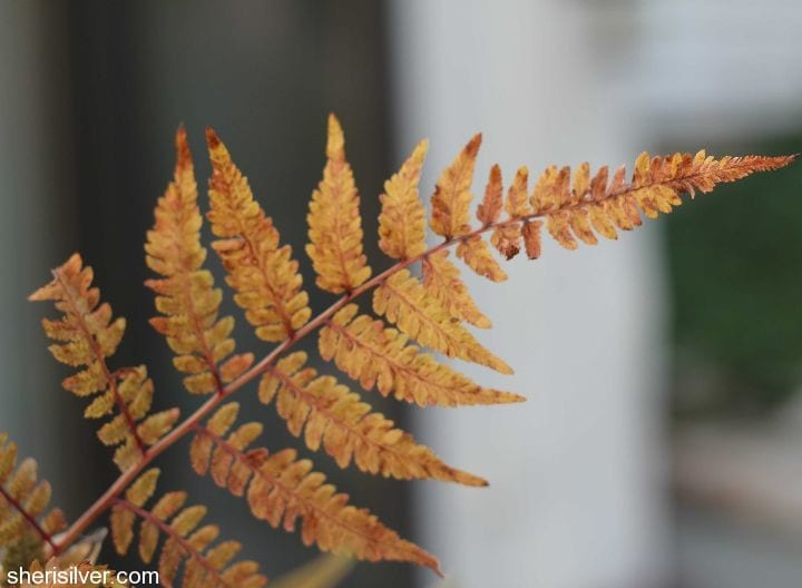 japanese painted fern  Fall Garden Transition Tips