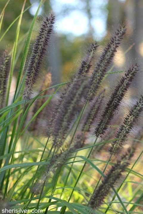 black fountain grass  Fall Garden Transition Tips