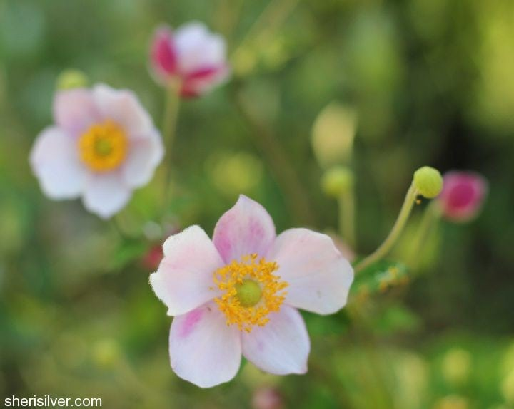 anemone  Fall Garden Transition Tips