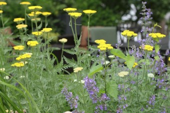 yarrow and catmint