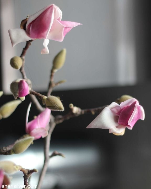 forcing magnolia buds