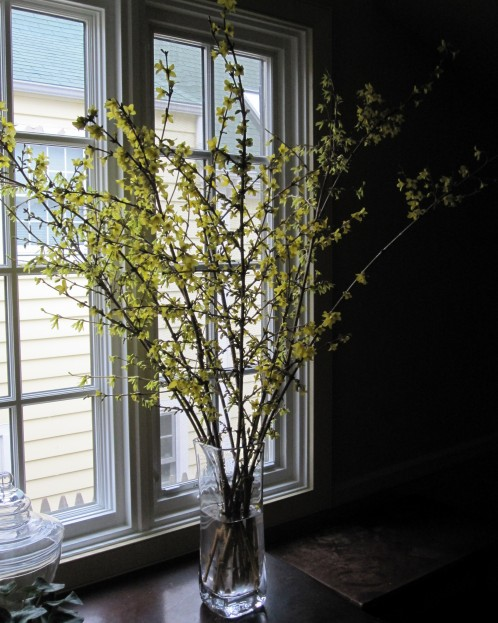 forcing forsythia branches indoors