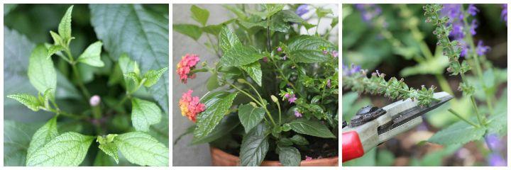 cut back perennial, summer planter, deadheading perennial