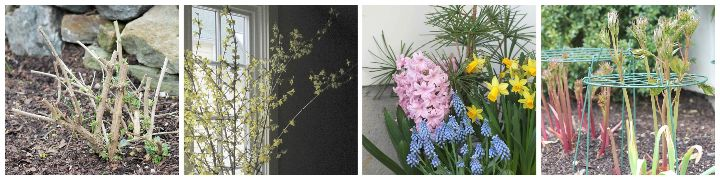 pruned butterfly bush, forced forsythia branches, spring planter, peony rings