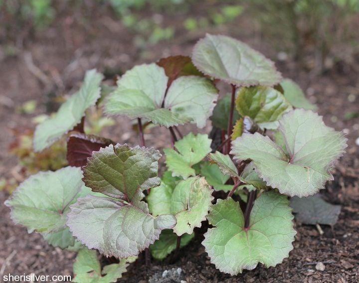 spring checklist, ligularia foliage
