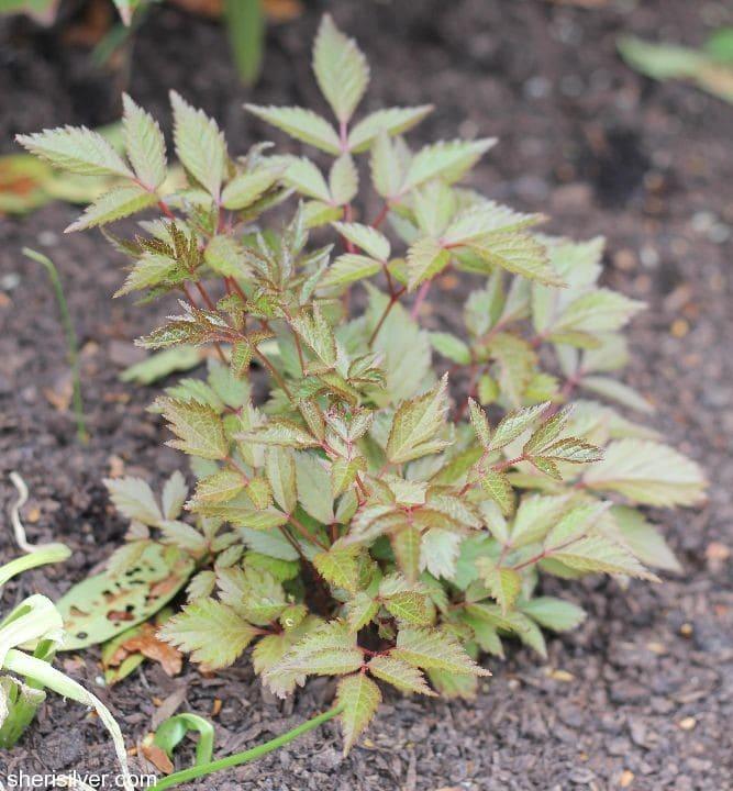 spring checklist, astilbe foliage