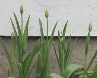 spring checklist, tulip buds