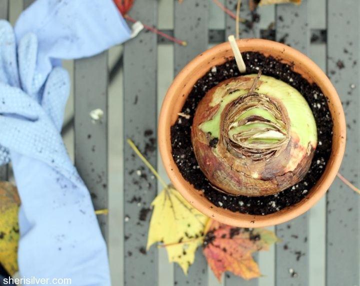 how to grow amaryllis
