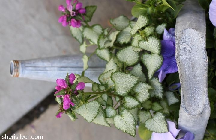 vintage watering can planter with lamium and pansies