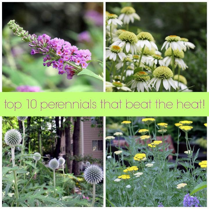perennials that beat the heat