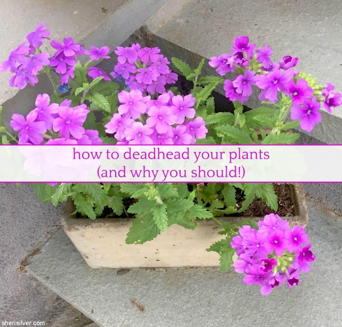How To Deadhead Plants l sherisilver.com